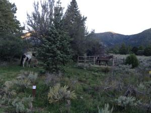 my mares in Pine Valley Recreation area, UT