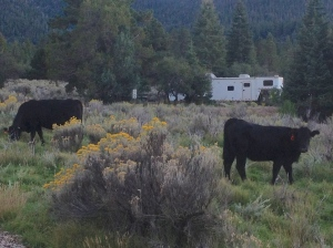 free range cows UT, my trailer in the background