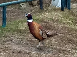 escaped pheasant