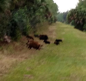 wild pigs on canal trail