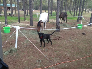 Tommy learning to stay out of the corral