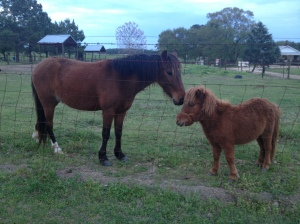 resident cuties, the big horse is actually pretty small, the tiny one is the size of a dog and what a personality!