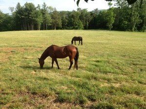 Ron & Penny's horses in their pasture