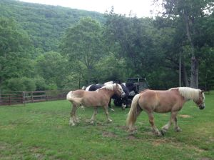 EJ's horses being led by the 4 wheeler to pasture