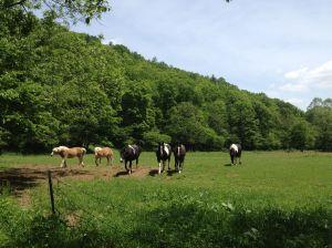 EJ's horses in pasture