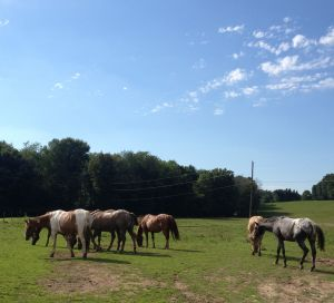 trail horses in pasture