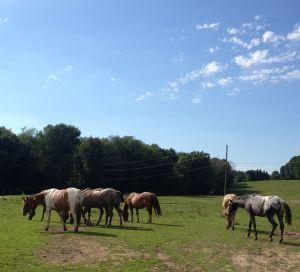 trail horses in pasture