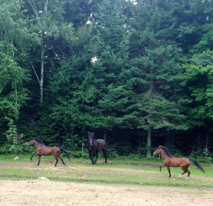 the little horses with the Percheron
